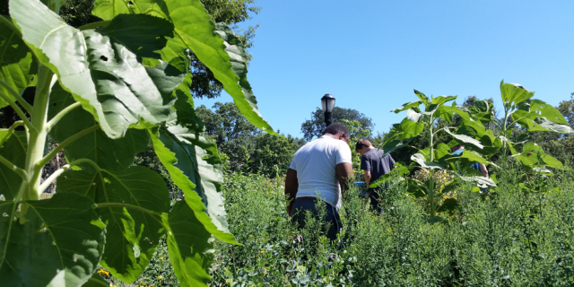 Removing invasive weeds from the Monarch Butterfly Garden. Aug. 3, 2016.